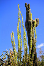 Ocotillo &amp; Saguaro