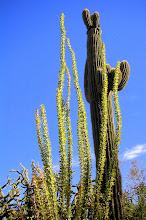 Ocotillo & Saguaro
