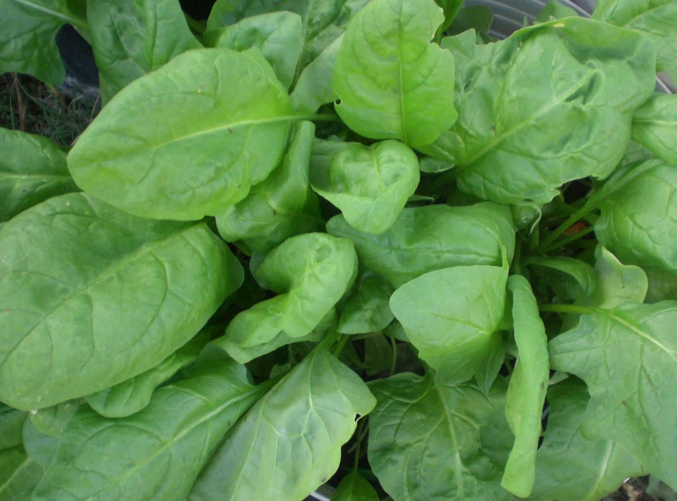 A Kitchen Garden in Kihei Maui: Growing Spinach in Kihei