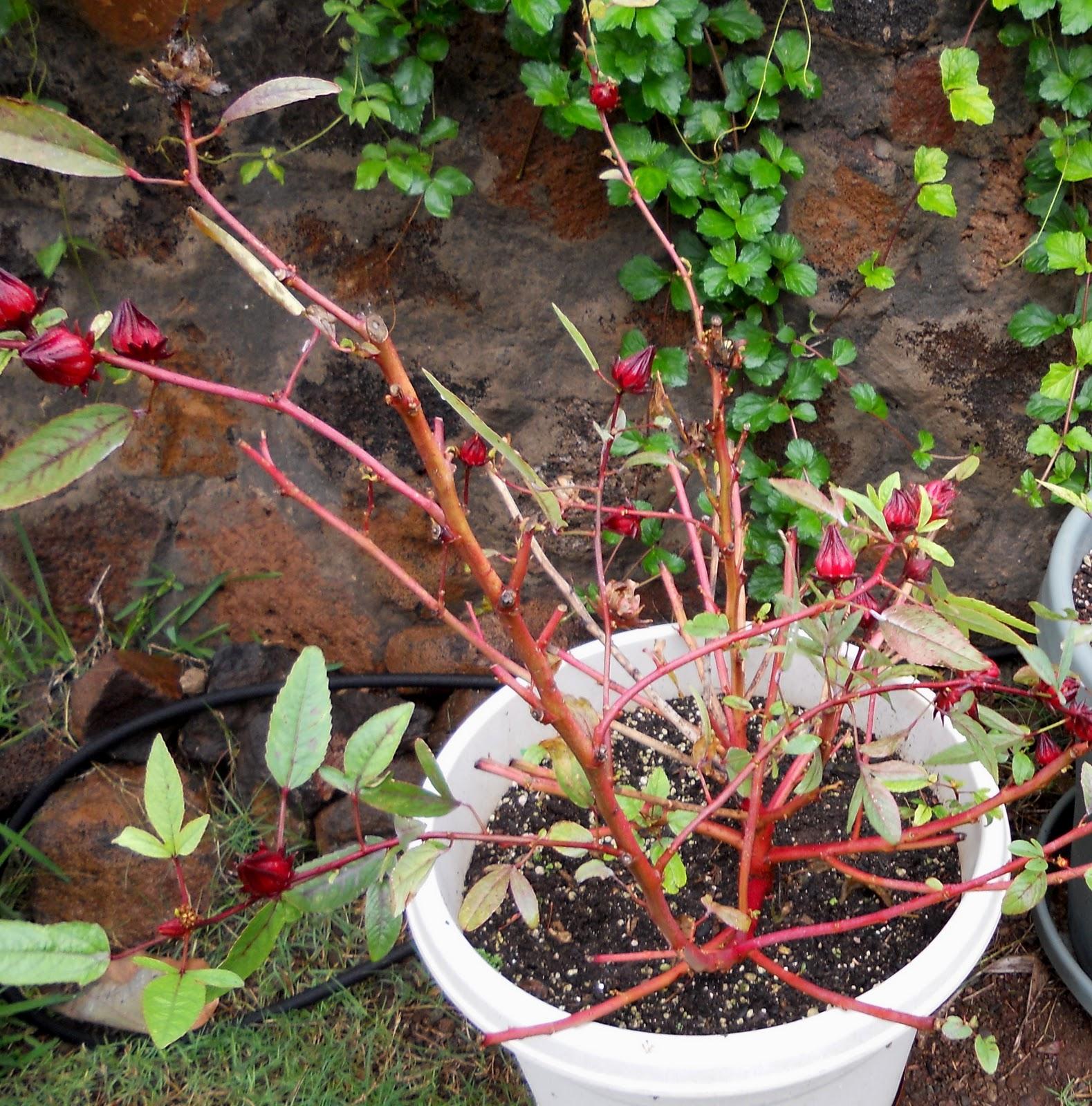 Каркаде растение выращивание 55