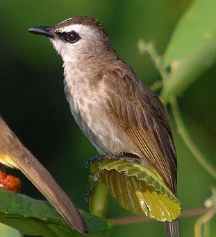 burung terucukan atau trocokan adalah salah satu burung