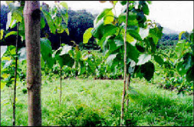 Valuable Information About Trees Plants Philippine Teak