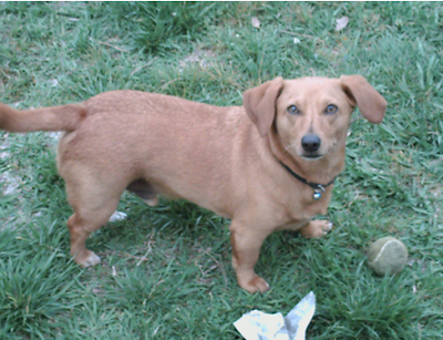 Chiweenie: a Dachshund crossed with a Chihuahua