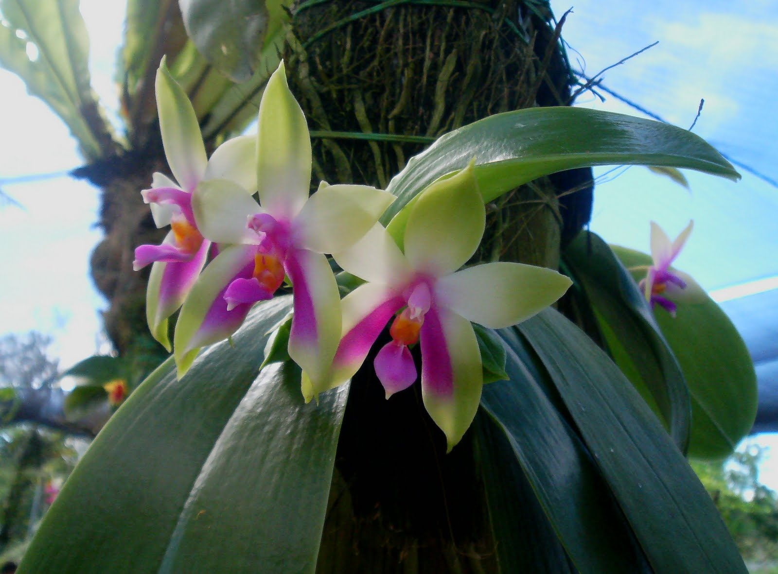 Phontography by N93i Sarawak State Flower Normah Orchid