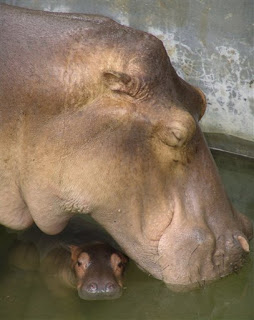 I swear the mother hippo really is named porn