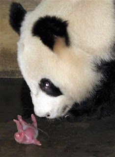 it was a cold and gray chengdu morn and another little baby panda was born in the zoo-oooh, if there's one thing that she don't need it's another hungry little mouth to feed in the zoo-oooh