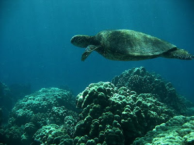 greenseaturtlehawaii - Tourism Boards Offering Voluntourism
