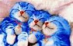 kucing blue...