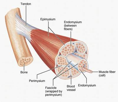 Skeletal_Muscle_Fibers+-+www.Musclebase.Blogspot.JPG
