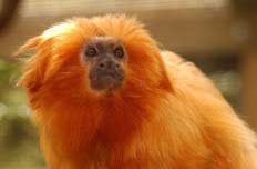 The precious Lion Tamarin is on the endangered species list in Brazil, with the rainforest now a fraction of its original size.
