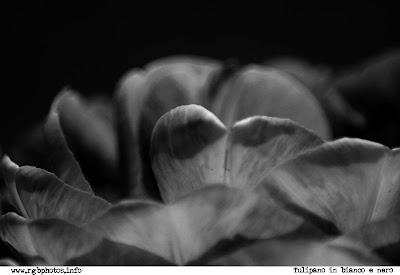 Fotografia di tulipano angelique in bianco e nero (photoshop, funzione miscelatore canali, macchina fotografica Canon EOS 10d, ottica Sigma 70-300mm f/4-5.6 APO