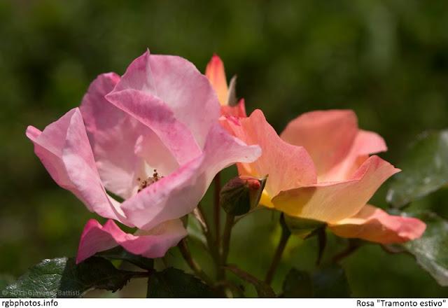 Tramonto estivo, splendida rosa di Barni