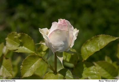 Bocciolo di rosa moonstone