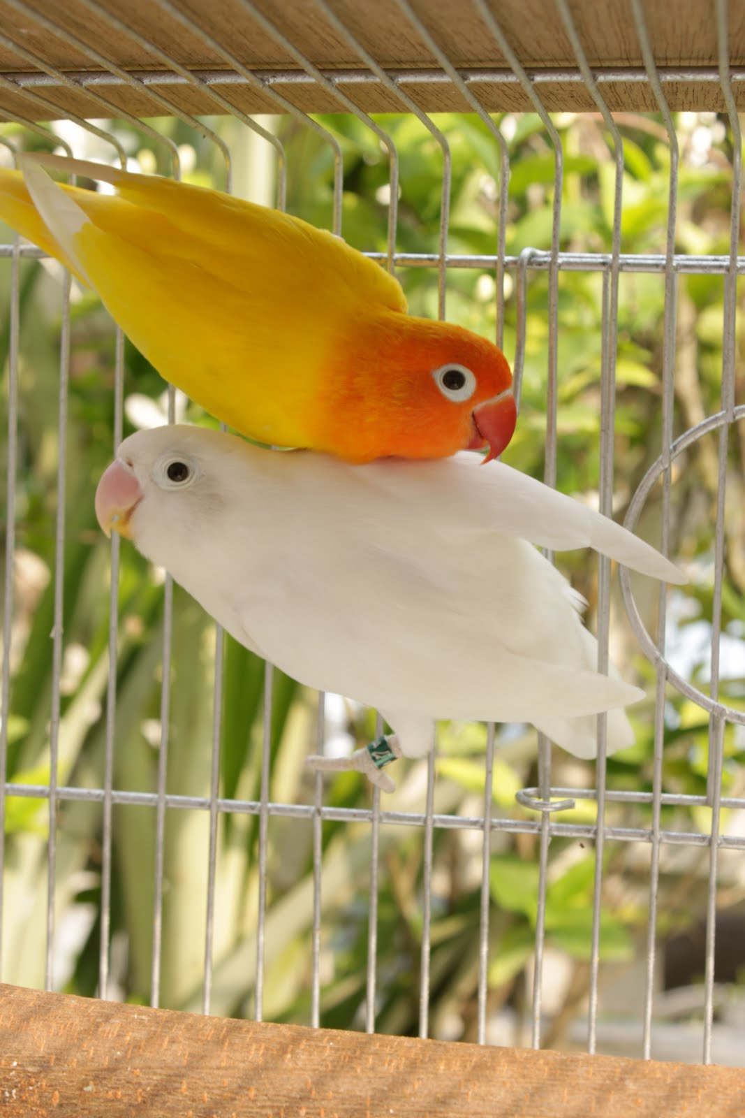 How to Breed Lovebirds photo