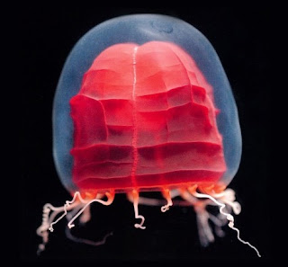 Beautiful_Jellyfish