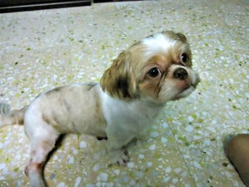 brown-eyed, brown/white female shih tzu (jurong west, sat 5 jun