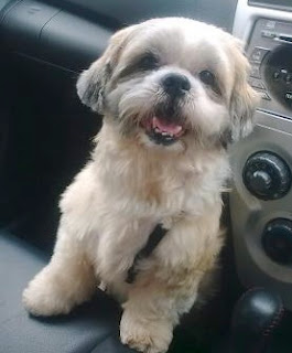 yrs old Shih Tzu for Adoption