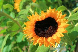 Sunflower Heart Wallpaper