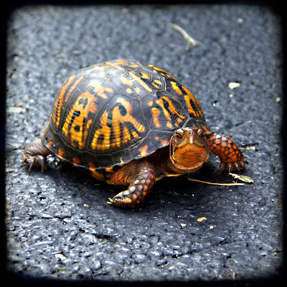 i sew cute and draw pretty nifty also eastern box turtle