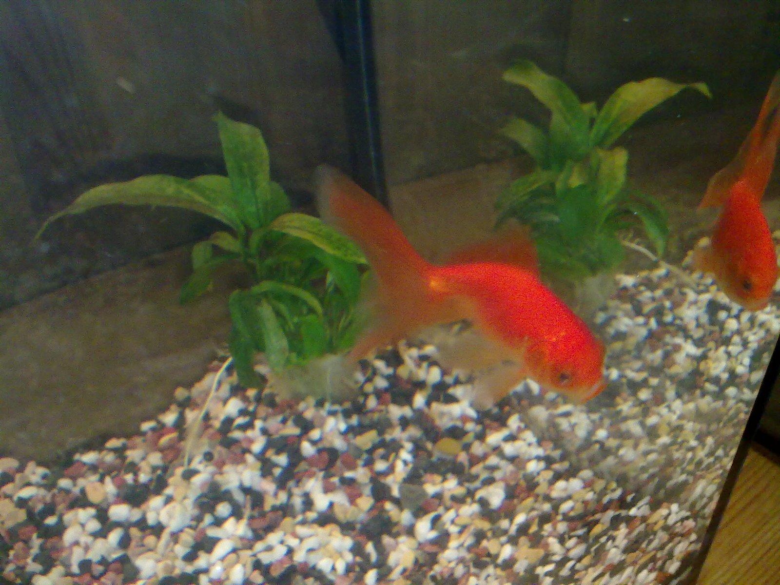fisk til lite akvarium