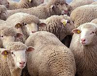 A modern flock of sheep