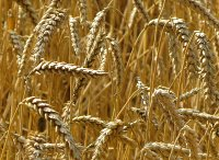 Grain ripening in the field