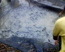 Ikan lele saat dalam keramba seusai di tangkap