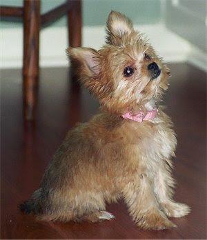 Chorkie Puppies on Chorkies
