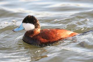 棕硬尾鴨 (Ruddy Duck)