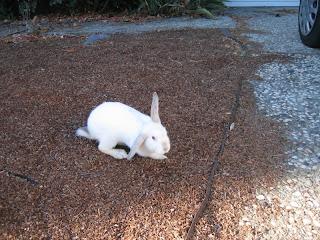 前園的白兔