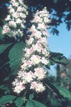 White Chestnut  Flor de castaño blanco