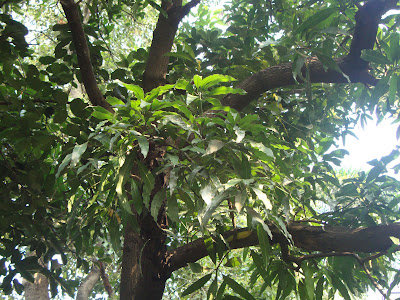 Mango Tree http://nav-justanyrandomtopic.blogspot.in/2012/09/nature-walk-mumbai-trees-part-2.html