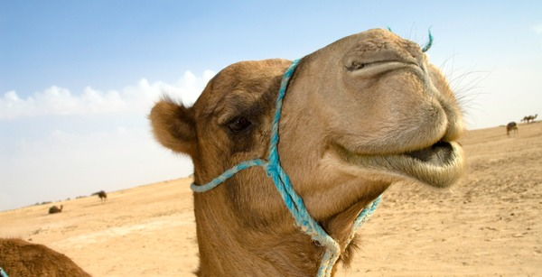 happy_camel.jpg