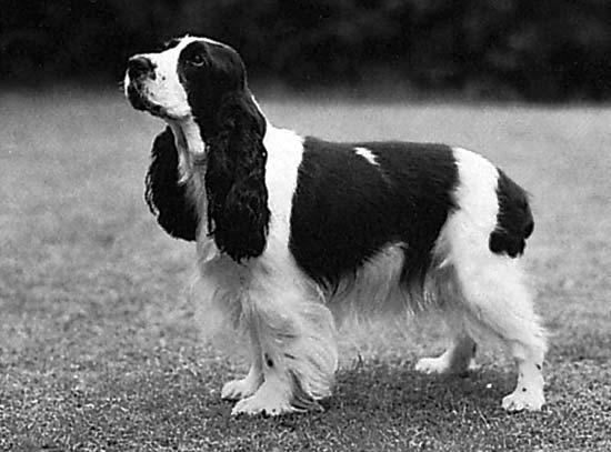Small Dog Breeds Cocker Spaniel Cocker Spaniel Breed Standard