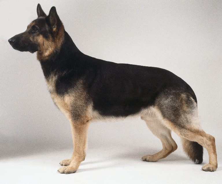 short haired german shepherd dog