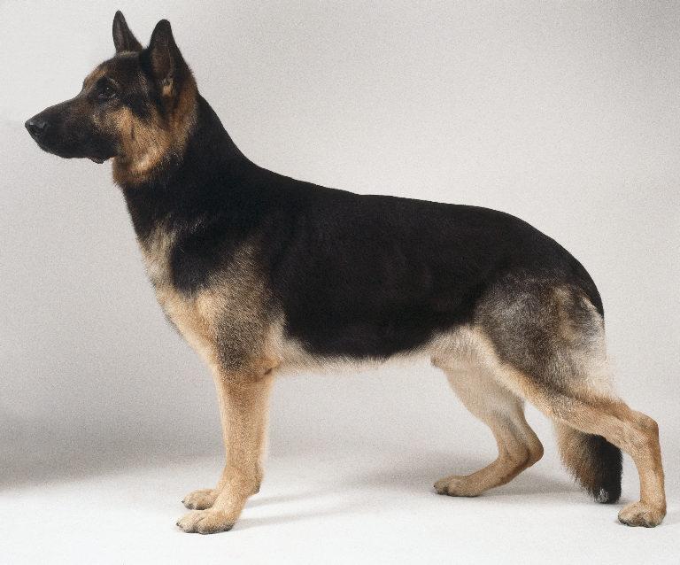 short haired german shepherd dog