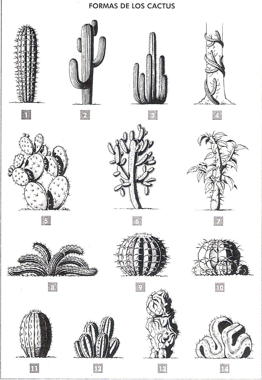 Equum libert cactus formas for Tipos de cactus