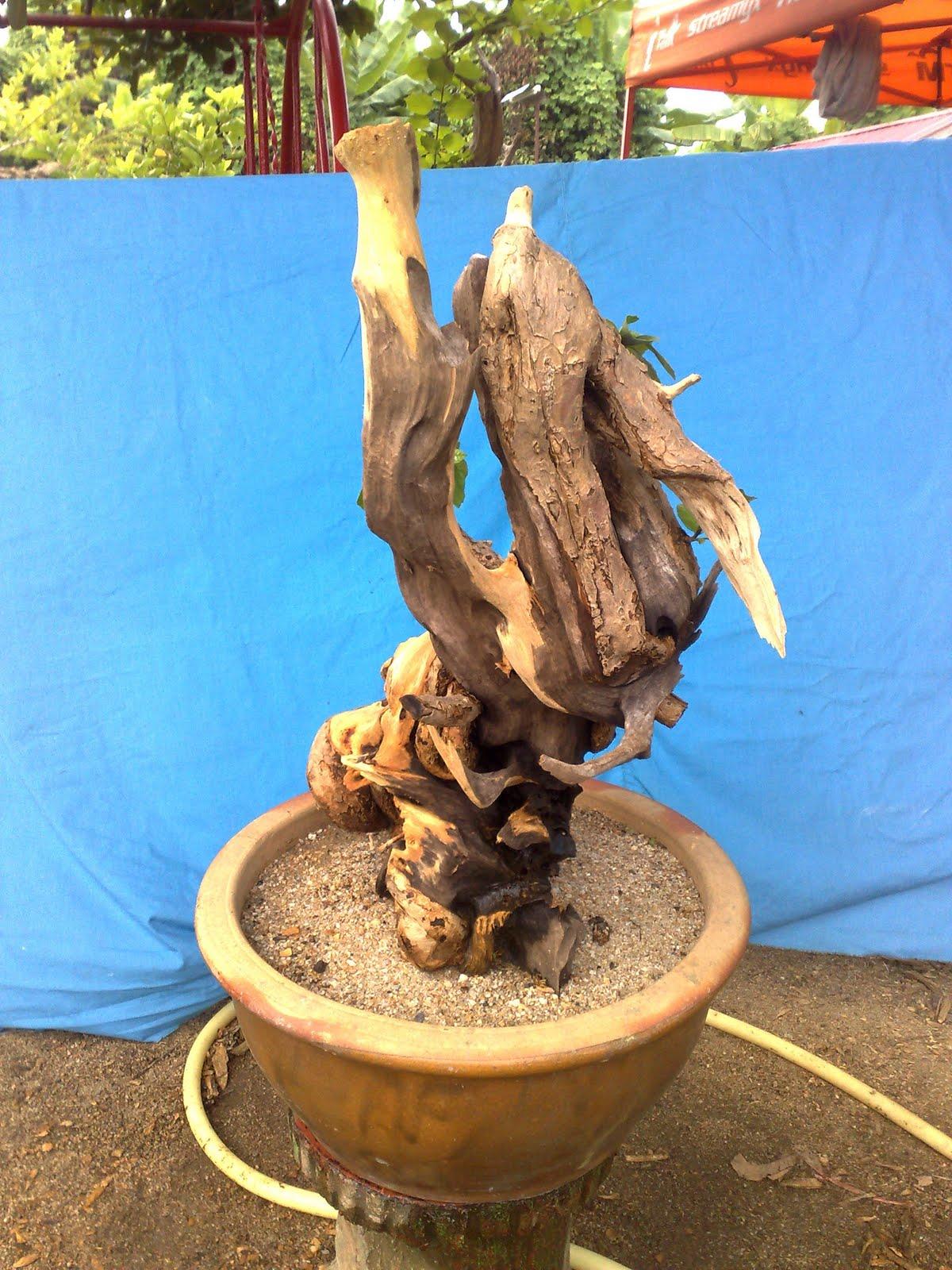 Mat Yie Garden Bebuas Wahong Laut Membuat Jin Dan Shari