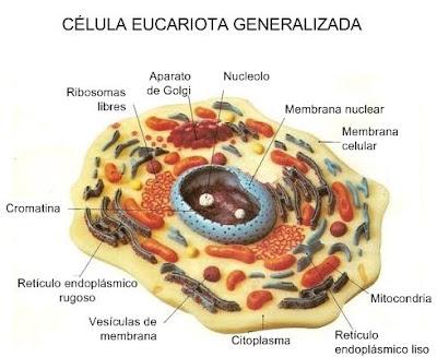 celula procariota estructura. celula procariota estructura. Las características generales de este tipo de