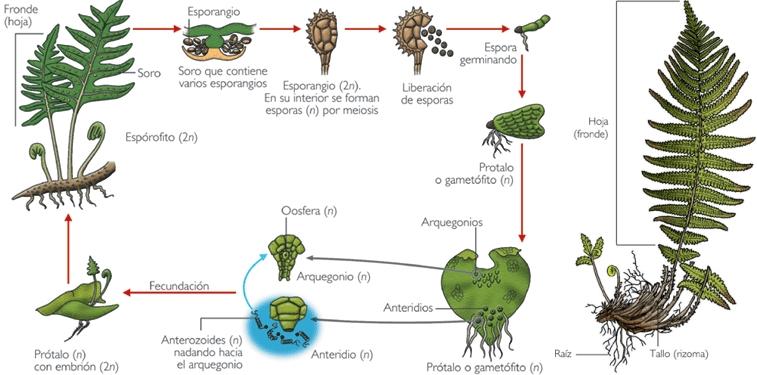 Los pteridofitos fueron el primer tipo de plantas vasculares