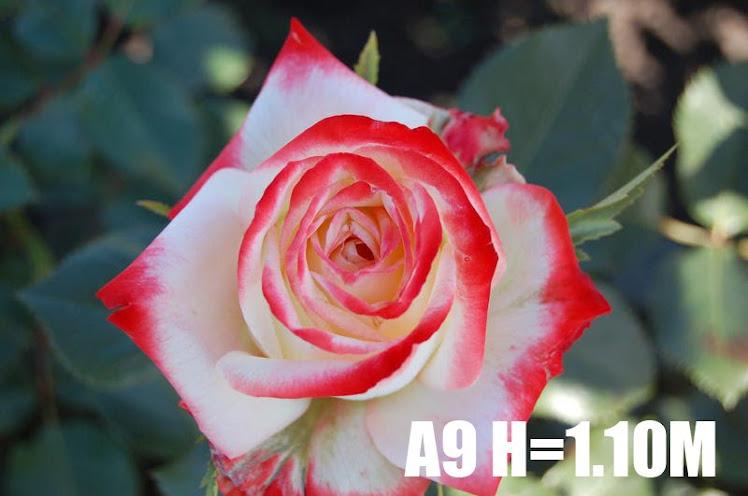 A9 H=1