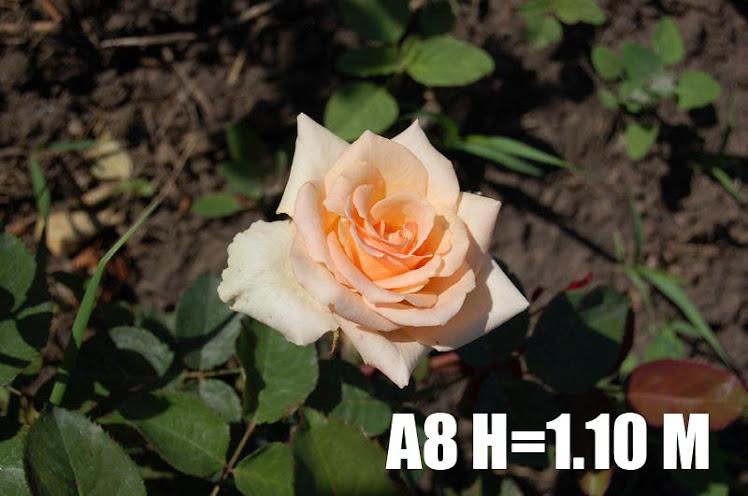 A8 H=1