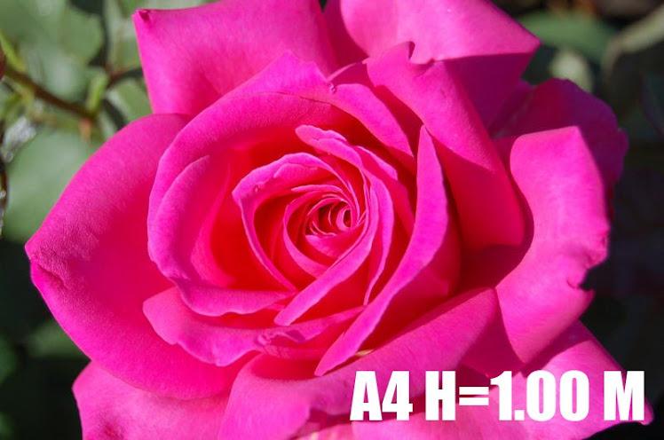 A4 H=1