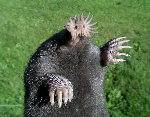 Ugly Animal Star Nosed Mole