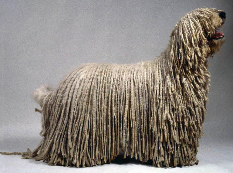 Komondor Komondor Dog Pictures
