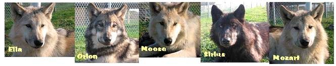 Red River Zoo Wolf Pack