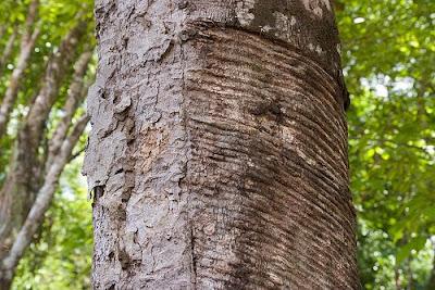 Rubber Tree in the Brazilian Amazon