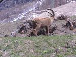Stambecco nelle montagne di Valsavarenche