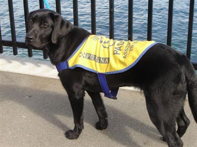 F litter pup Finell, now named Jolie, in training in Canada to be an assistance dog