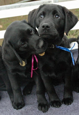 Black Lab puppipes Dot and Dubai